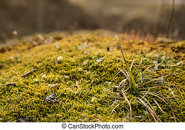 Beautiful golden, spring moss with foliage and small cones on the rocks