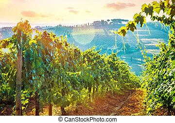 Beautiful grape field valley
