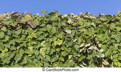 beautiful grapes against the sky