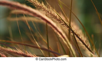 Beautiful grass ear spikes at the sunset - Grass ear spikes...