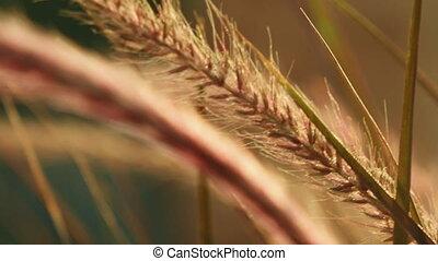 Beautiful grass ear spikes at the sunset - Grass ear spikes...