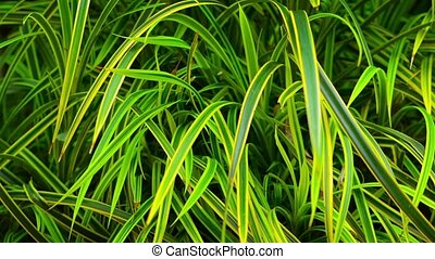 Beautiful Grass with Bicolored Leaves in Southeast Asia -...