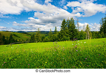 beautiful grassy meadow in summer. spruce trees and wooden...