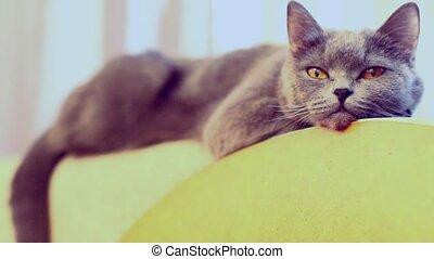 Beautiful gray British cat looks, averting his eyes, blinks and falls asleep