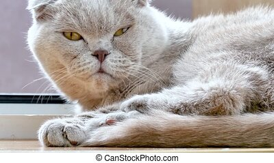 Beautiful gray cat close-up. Scottish fold cat is going to rest and sleep in the rays of sunlight.