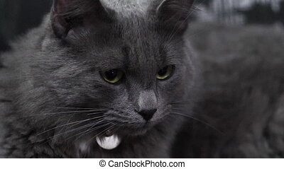 Beautiful gray cat in slow motion