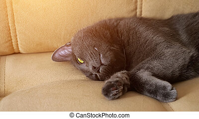 Beautiful gray cat lies on a beige sofa