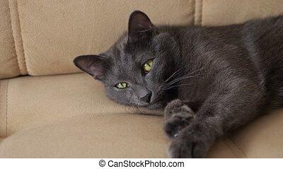 Beautiful gray cat lies on a beige sofa.