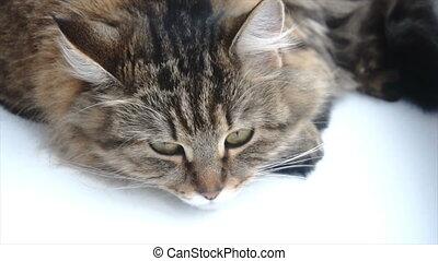 beautiful gray cat lying on a white windowsill.