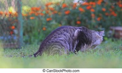 beautiful gray cat playing with a mouse in green grass