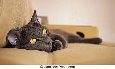 beautiful gray cat with yellow eyes lies on a beige sofa