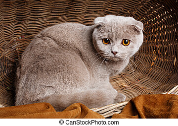 gray cat with yellow eyes Scottish Fold Sits in a wooden basket