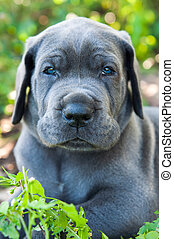 Gray Great Dane dog puppy portrait
