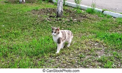 Beautiful gray pussycat with white chest standing on the grass and walk out