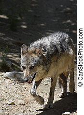 Beautiful Gray Wolf in the Warm Sunshine