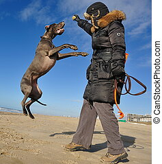 Beautiful great Dane jumping high in the air on the beach