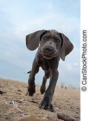 Great Dane puppy on the beach - Beautiful Great Dane puppy...