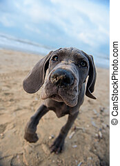 Great Dane puppy on the beach - Beautiful Great Dane puppy...
