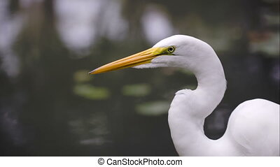 Beautiful Great Egret by the water - Close-up shot of...