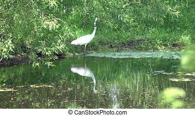 great white heron Egretta alba on lake coast - Beautiful...