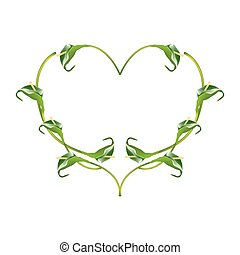 Beautiful Green Anthurium Flowers in Heart Shape