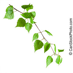 Beautiful green birch branch isolated on a white background