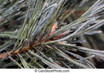 Beautiful green branch of the pine with young cones covered snow and hoarfrost. Close up.