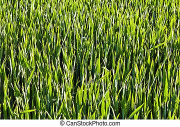 beautiful green corn in harmonic structure