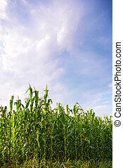 beautiful green corn meadow