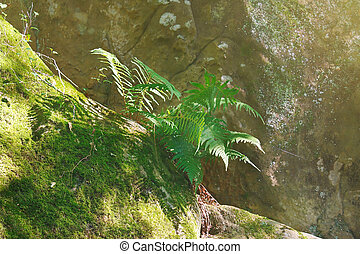 Beautiful green fern in the morning sunlight on surface of a rock