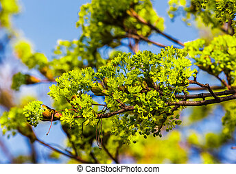beautiful green foliage of tree in springtime. vivid natural...