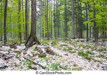 Beautiful green forest and snow in spring time