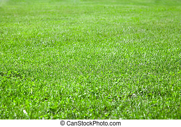 beautiful green grass with shallow depth of field