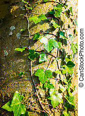 Beautiful green ivy climbing up the huge tree trunk