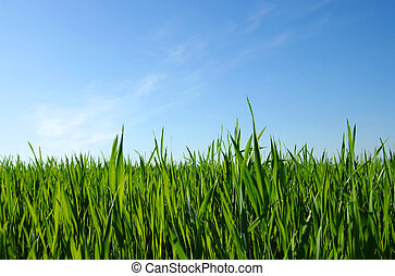 Beautiful green lawn isolated on the sky