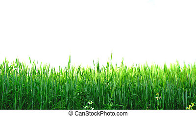 lawn - Beautiful green lawn isolated on white