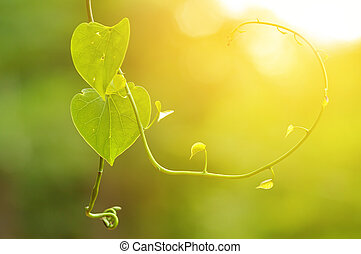 Beautiful Green leaf heart shape with morning sunlight