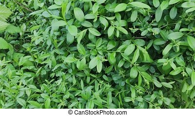 Beautiful green leaves of a bush.