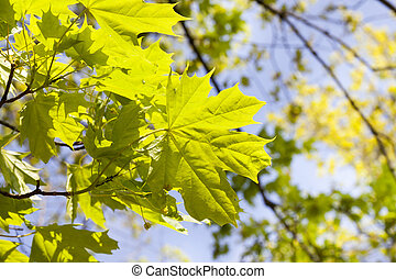 Beautiful green leaves - beautiful green maple leaves in the...