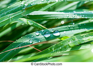 Beautiful green lemongrass leaf background with water drop....