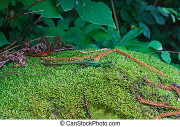 Beautiful green lizard basks on fluffy moss - Beautiful...