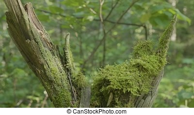 Beautiful green moss in the sunlight. Moss grows on the...