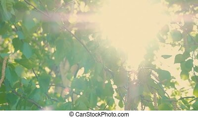 Beautiful green nature background. Sun shines through green leaves of birch. Vintage Color.
