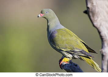 Beautiful green pigeon sitting on a dry branch in sun