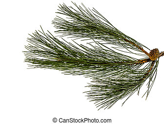 Beautiful green pine cones on a branch, isolated on a white background