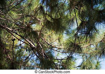 Beautiful green pine tree background