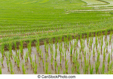 Beautiful green Rice Terraces in Doi inthanon, Maeglangluang Karen village, chiangmai Thailand