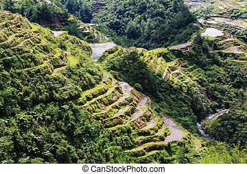 Rice terraces - Beautiful Green Rice terraces in the...