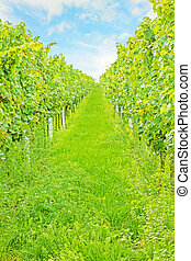 rows of grapes