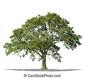Beautiful green tree isolated on a white background in high ...